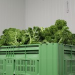 Gemüsegärtner (7)